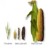 Evolution of Corn